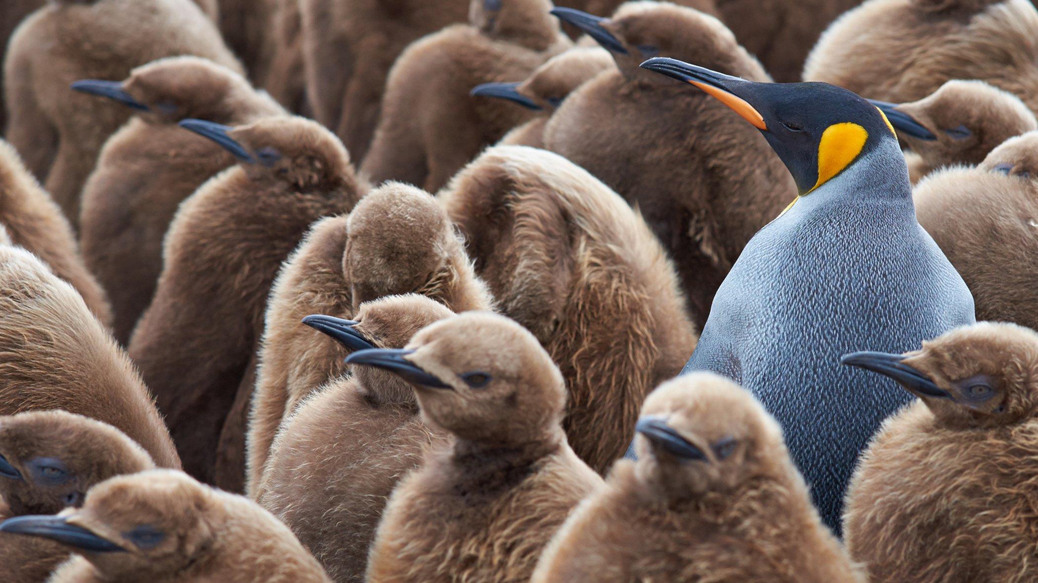 En pingvin med annourlunda färg står bland andra pingviner.
